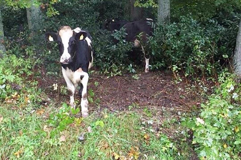 Da staunten ein Bürger in Westerholtsfelde nicht schlecht, als mehrere Kühe in seinem Vorgarten standen. Mehrere Jungkühe waren in der Nacht von einer Weide in Neuenkruge ausgebüxt und entlang der Hauptstraße in Westerholtsfelde in Richtung Ofen gewandert